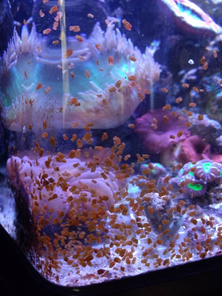 Ayuda con mi coral   Club Acuarios Marinos