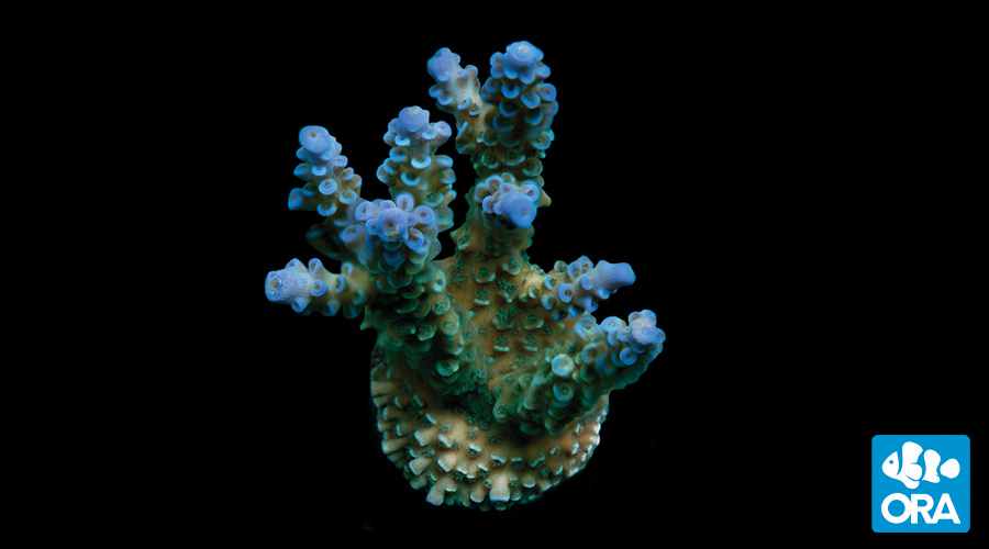 blue-voodoo-2_zpswfb0mk8l.