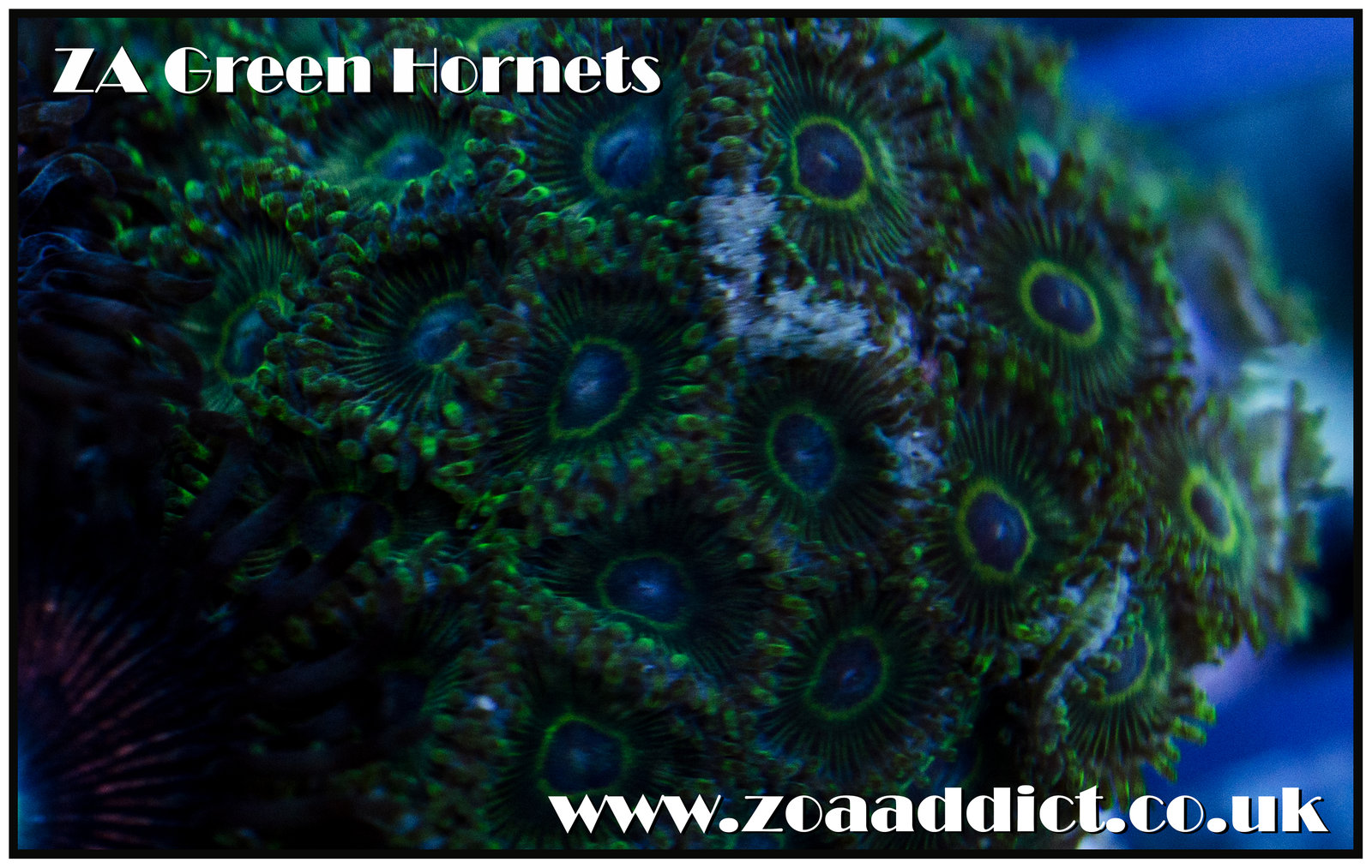 green hornets.