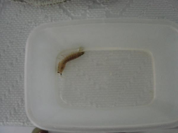 Vemos en un recipiente al camaron mantis, Bueno como vivo cerca de puerto marquez en Acapulco, pues