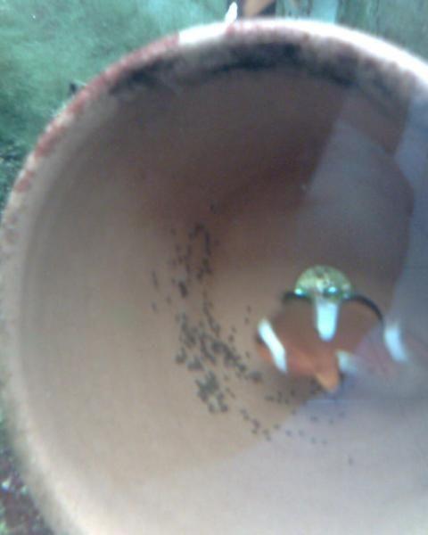macho criado por mi cuidadno su nido (las crias son 2 generacion) vean las franjas incompletas en el