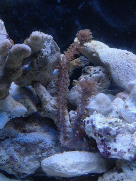 Colocando algunos corales