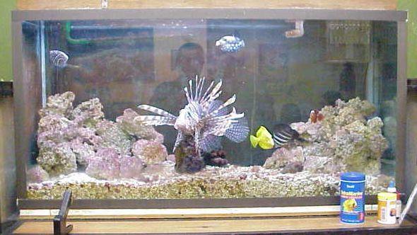 Angel emperador club acuarios marinos for Peces marinos para acuarios pequenos