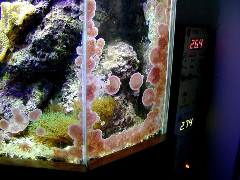 alga coralina en los vidrios de un acuario marino