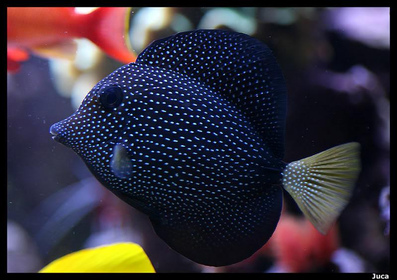 Peces y corales mas caros del mundo club acuarios marinos for Peces de acuario marino