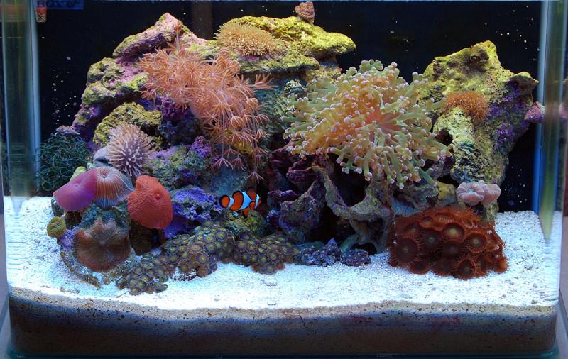 Reposicionamiento de corales en nano club acuarios marinos - Decoracion acuario marino ...