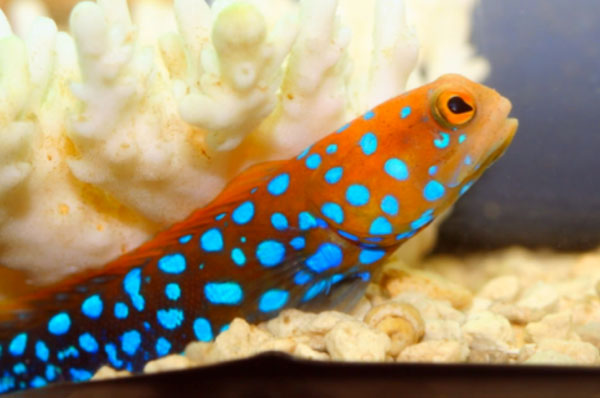 Image gallery nano reef fish for Nano saltwater fish