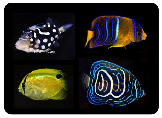 5 nuevas especies nacidas en cautiverio club acuarios for Cria de peces ornamentales